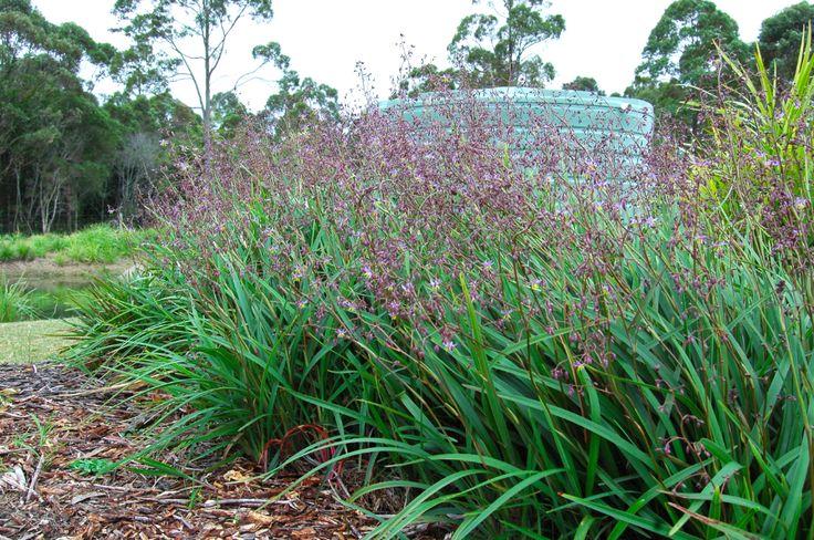 248 best landscape gardening plants images on pinterest native lucia dianella is a low growing excellent spreading landscape plant altavistaventures Gallery
