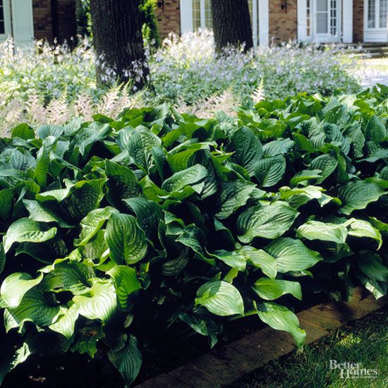Here's a variety you might grow for its flowers; Hosta plantaginea has green foliage and clusters of pure white blooms in summer that are wonderfully fragrant. Size: 24 inches tall, 48 inches wide Zones: 3-9 Slug Resistant: No Flowers: White Year Introduced: Wild type