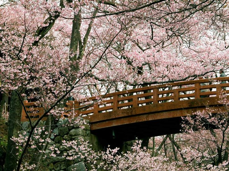 cherry blossoms japanese - Japanese Garden Cherry Blossom Bridge