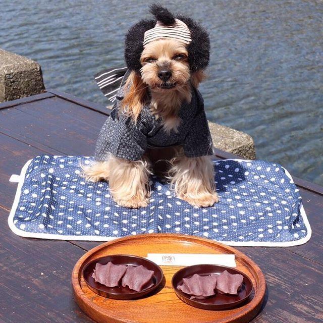 2017.6.18🍡 ・ おとっつぁんこれ食べて元気出してよ😭 ・ って誰がおとっつぁんやねん😩 ・ ひとりノリツッコミあかんよ~😅💦 ・ ・ 伊勢名物「赤福餅」 ・ 川の辺で食べると さらに美味しかった~😋 ・ ・ ・ #toypoodlesilver #dog #dale #smile #instadog #instapoodle #instaYorkshireterrier #pet #Peace #poodle #puffwithus #lovedogs  #west_dog_japan #Yorkie #ヨーキー #instaYorkie #bestphotogram_dogs #cute #love #ふわもこ部 #愛犬 #多頭飼い #トップノット #いつメン#伊勢#赤福餅#ヅラ#浴衣