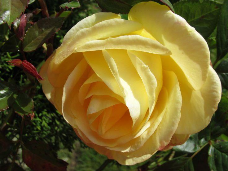 Rose in our garden 2015