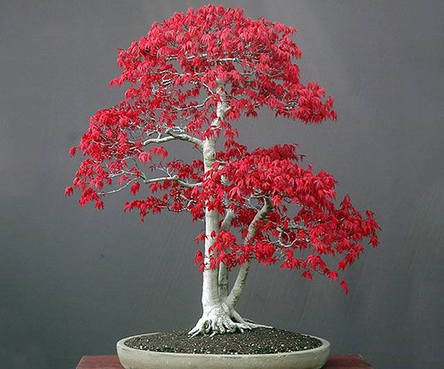 Bonsai Red Maple Tree SeedsCultivate a serene environment in any part of your hectic home by growing your own bonsai red maple tree. With these seeds you'll be able to relax yourself while taking part in the ancient tradition of planting and maintaining your very own miniature tree.$4.99Check It OutAwesome Sh*t You Can Buy