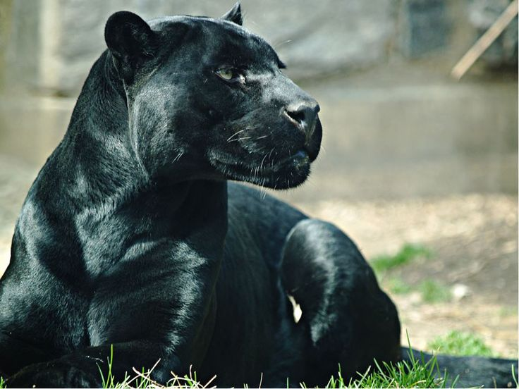 black panther - ever watchful