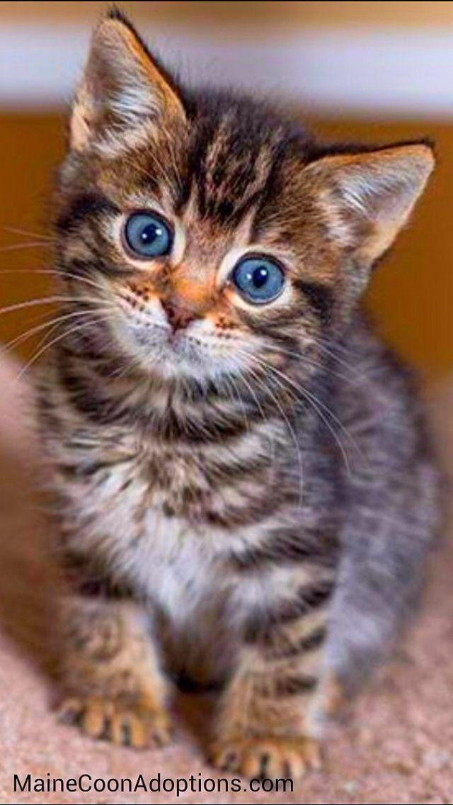 I Am Kitten Resistance Is Futile Cats And Kittens Available For Adop Baby Katzen Katzen Katzenbabys