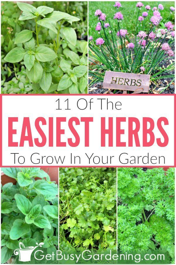 11 Easy Herbs To Grow In Your Garden Easy Herbs To Grow Organic