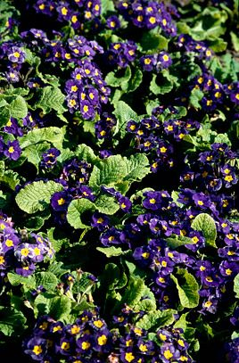 Polyanthus 'Rainbow Blue Shades' (Primula 'Rainbow Blue Shades' (Rainbow Series)) | Ultimate height 0.25 metres |  Ultimate spread 0.25 metres
