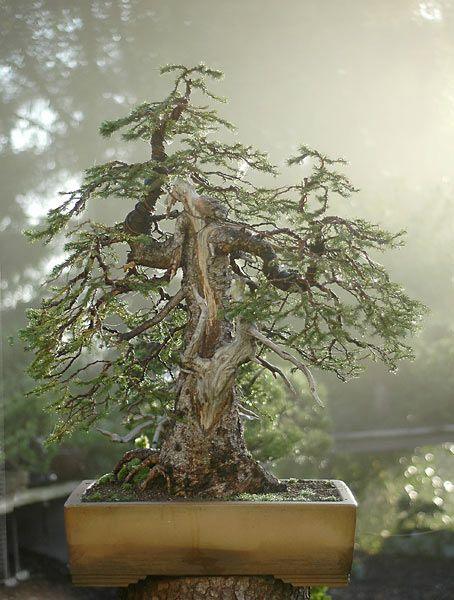 Walter Pall bonsai                                                       …