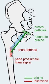 Risultati immagini per muscolo PETTINEO