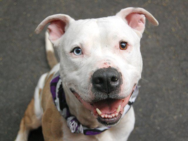 SAFE Manhattan Center CHILI - A0968550 MALE, WHITE / BROWN, PIT BULL MIX, 6 yrs SEIZED He's sweet-natured, respectful, extremely friendly & stunningly handsome - Chili dreams of a loving forever family with a cat-free home and lots and lots of tennis balls, will you be the one to make that dream come true? Mr Right is waiting for you at our Manhattan Care Center, ask for Chili today https://www.facebook.com/photo.php?fbid=627663067246576=a.617938651552351.1073741868.152876678058553=3