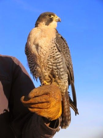 """The Southwest Armchair Traveler: Falcons: Inspiration from a Bird of Prey. """"A couple of years ago, I met a local falconer. I tagged along on hunts..."""""""