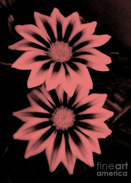 Gazania Greeting Card featuring the photograph Twins 3 by Erika H