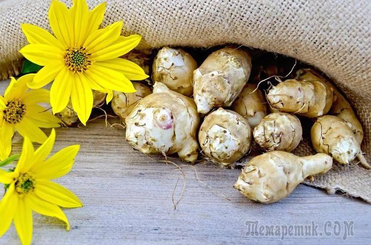 Топинамбур можно и нужно выращивать на дачном участке