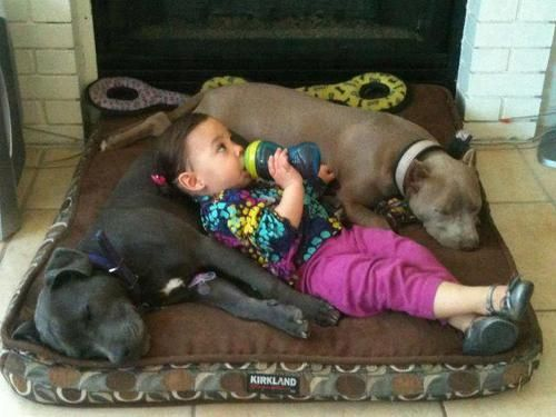 """Why pit bulls used to be considered """"nanny dogs"""" lol."""