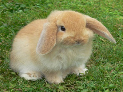 Cute baby bunny with floppy ears. I had a bunny this color.  Named the bunny, Butterscotch.