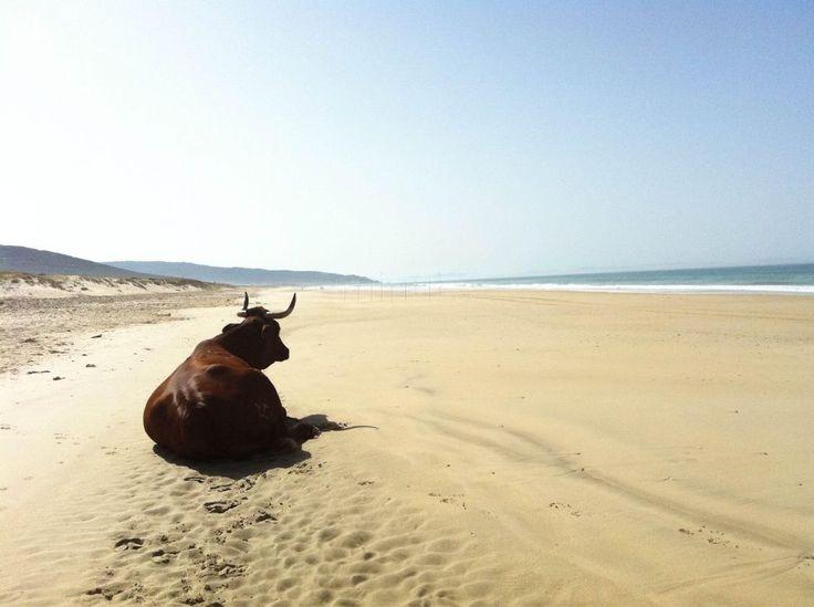 Imagine a beach where the sunbathing bulls lounge about in - Zahara de los Atunes in Cadiz, Andalusia, Spain