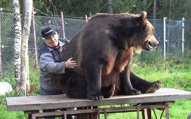 Sulo Karjalainen - known to many in his native Finland as the 'bearman'. The 73-year-old runs Kuusamo Large Carnivore Centre with his brothe...
