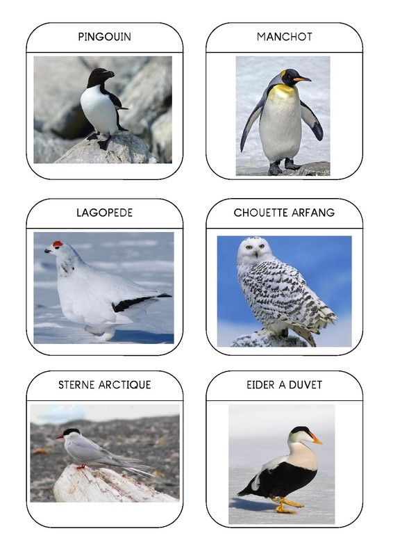 Imagier des animaux polaires page 10... attention plusieurs pages !