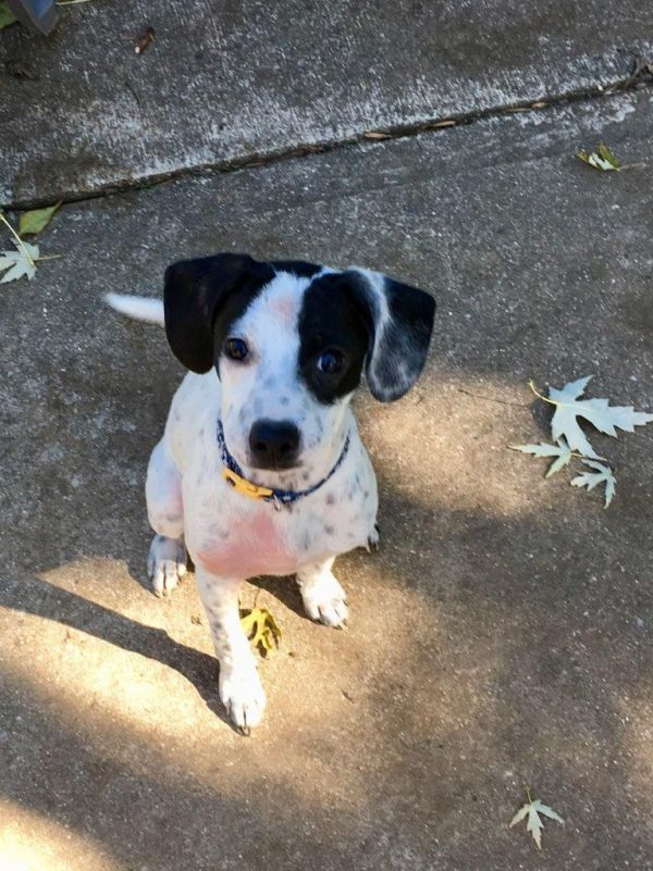 Melody Adoptable Dog Puppy Female Pointer Rat Terrier Mix