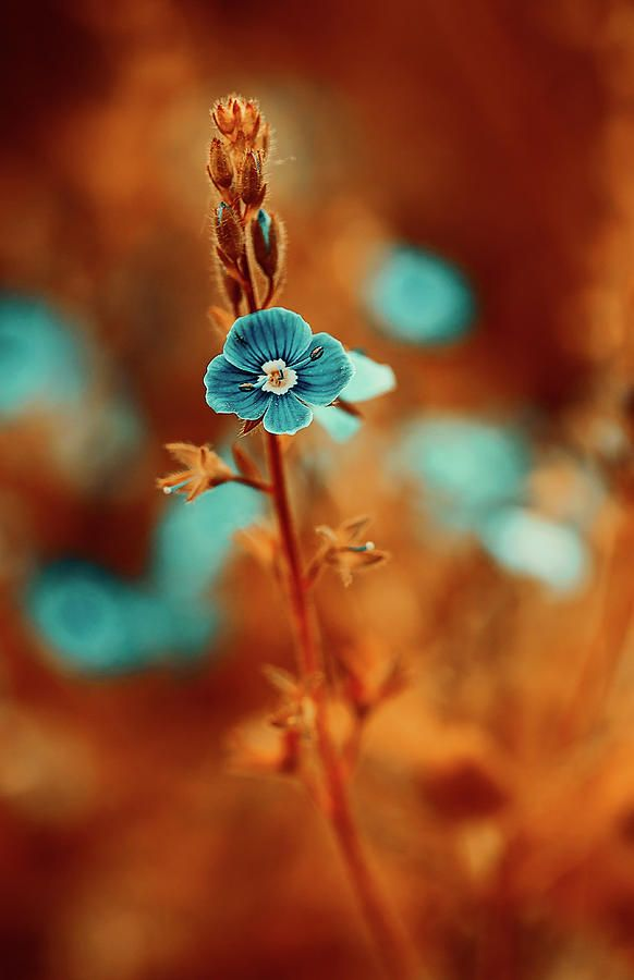 Small Blue Forget-me-not On Orange Photograph by Oksana Ariskina. Small blue wildflower forget-me-not, closeup view on orange brown toned background. Available as mugs, posters, greeting cards, phone cases, throw pillows, framed fine art prints, metal, acrylic or canvas prints, shower curtains, duvet covers with my fine art photography online: www.oksana-ariskina.pixels.com #OksanaAriskina