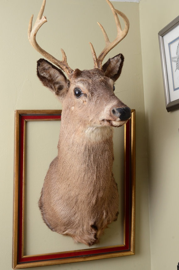 taxidermy real deer head wall mount buck by ambertaxidermy on wall mount id=43069