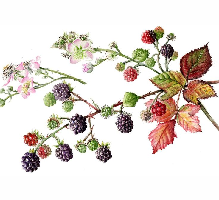 http://www.soc-botanical-artists.org/wp-content/uploads/Flintham-Christine-Blackberries.jpg
