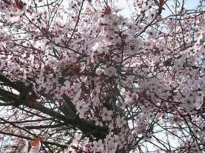 How to Plant a Japanese Plum Tree
