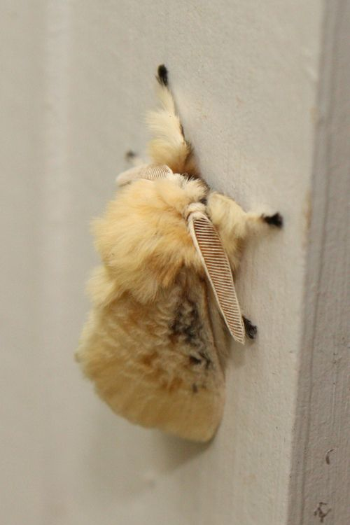 This fluffy lil guy is a Black-Waved Flannel moth.