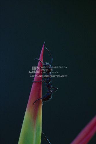 Bullet Ant 1