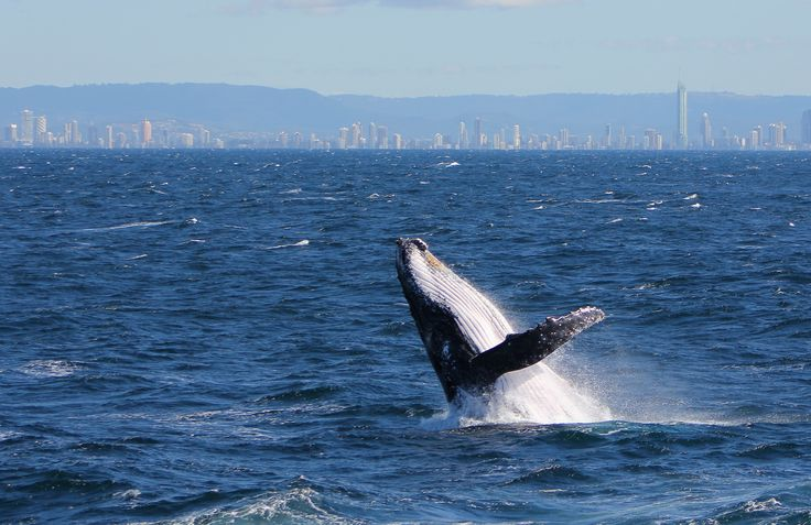 Whale watching on the Gold Coast