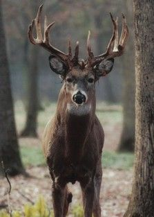 PENN STATE – ACADEMICS – Rutting Season -- The whitetail breeding season, or rut, occurs around mid-November in Pennsylvania. During rut, testosterone level is at its peak, and bucks can be very aggressive. They are less cautious about their surroundings and are focused on finding receptive does.