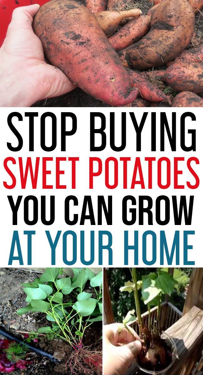 How To Grow Sweet Potatoes In Your Garden Susskartoffel