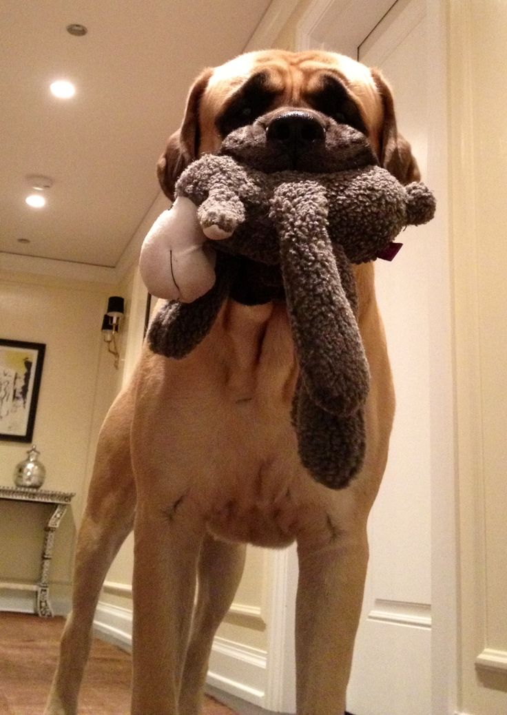 Not. Without . My. Toy! #Mastiff