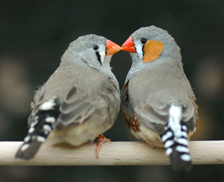 Why Love Matters to a Zebra Finch | Audubon