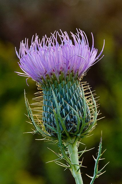 Thistle, removed a lot of these plants from the sheep pasture, always carefully leaned in to smell the wonderful scent before using dad's homemade tool to pluck them out!
