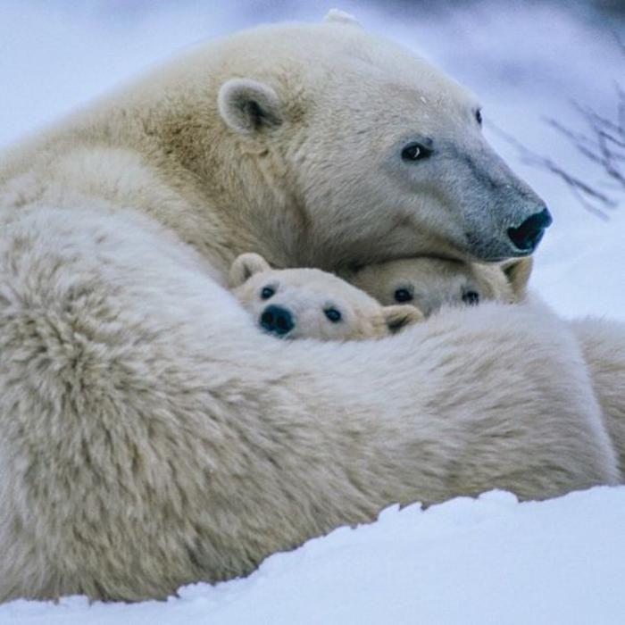 Assez Les 25 meilleures idées de la catégorie Bébé ours polaires sur  IK48