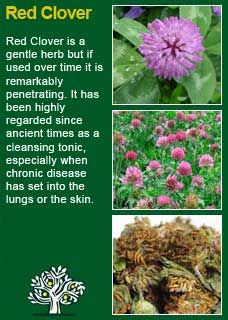Richard Whelan ~ Medical Herbalist ~ Red Clover