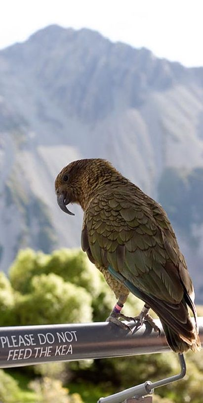 Kea, New Zealand, South Island.  These guys eat everything; windscreen wipers, door seals, everything!