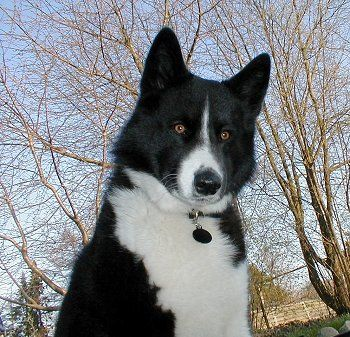 pretty karelian bear dog