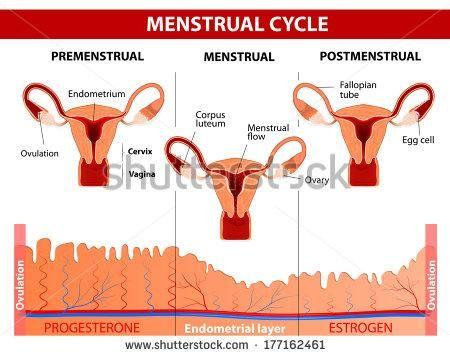 Ciclo menstrual: ¿qué ocurre durante estos 28 días?
