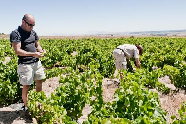 """When it comes to dryland winefarming, nature needs to play the key role."" Charl du Plessis #swartland #spiceroute"