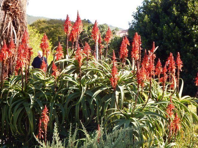 Aloes on Leisure Isle, Knysna