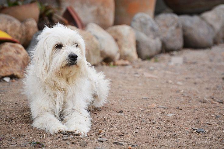 Dermatitis atópica en perros
