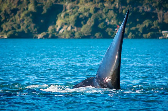 Southern Right Whales Otago New Zealand