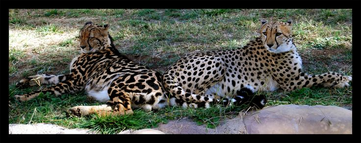 208 best images about King cheetah on Pinterest | Africa ...