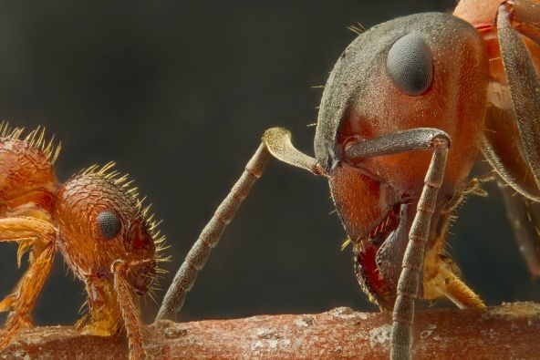 A tête-à-tête between two different species of ant on a stick