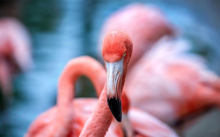 Download wallpapers flamingo, pink bird, lake, beautiful birds