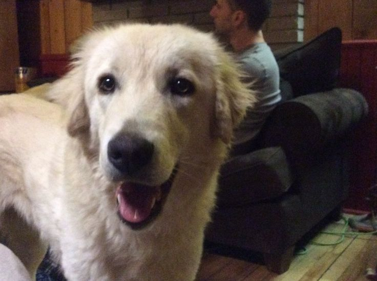 Luna the Livestock Guardian dog (LGD): Akbash Anatolian shepherd mix comes in to spend a few hours with the family every night once the sheep are in the barn
