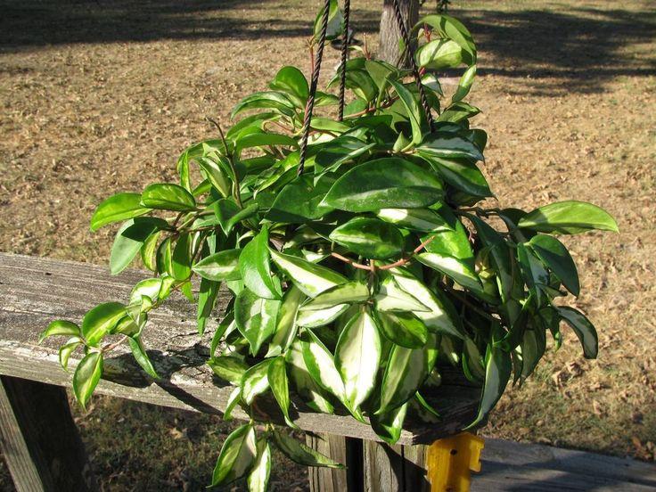 "Hoya carnosa Rubra Variegated  Plant Tri Color 6"" pot Hoya Wax Large #HoyacarnosaRubra"