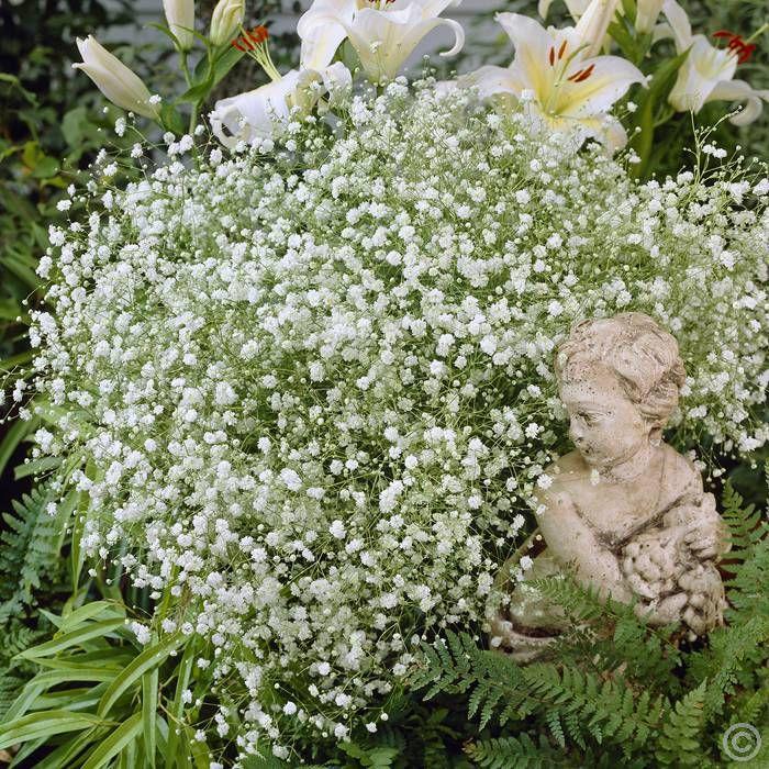 Gypsophila paniculata White x 3 buy online order now