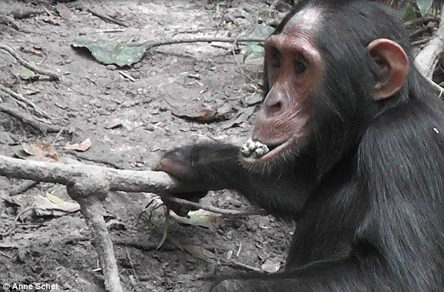 Wild chimpanzees in a forest in Uganda have started to eat clay, apparently for the minerals it contains and to help combat toxins in their food. The clay is known to be high minerals like calcium, iron, magnesium and potassium. In the image above a female adolescent chimp eats some clay dug from the ground with her hands